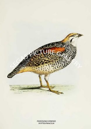 FRANCOLINUS CHINENSIS - SPOTTED FRANCOLIN
